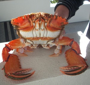 Noosa Spanner Crab